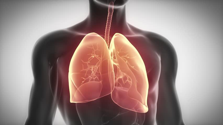 LUNGS male anatomy organ scan in loop
