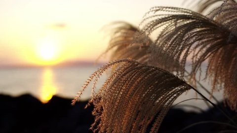 Sunsets and swaying pampas grass
