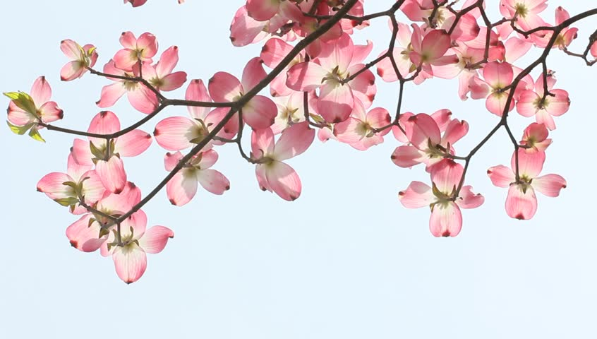 Branch Filled With Pink Dogwood Stock Footage Video 100 Royalty