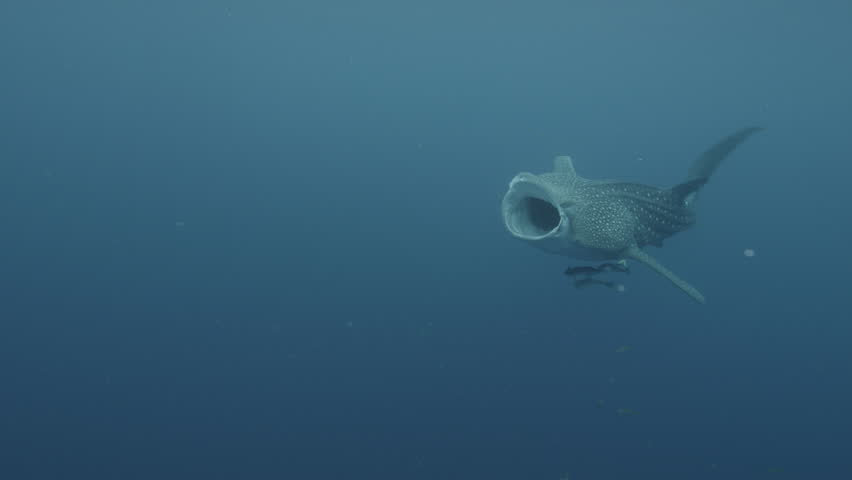 UW whale shark swims mouth wide open, Indonesia, 2012