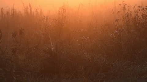 Cattails (Typha spp.) and other wetland plants are surrounded by an orange glow as the sunrises over a fog covered marsh.