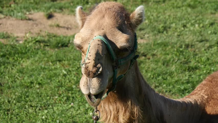 Closed hose camel