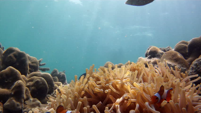 clownfish in sea anemone and snorkeling diver swimming in andaman sea, ko laoliang island, Thailand