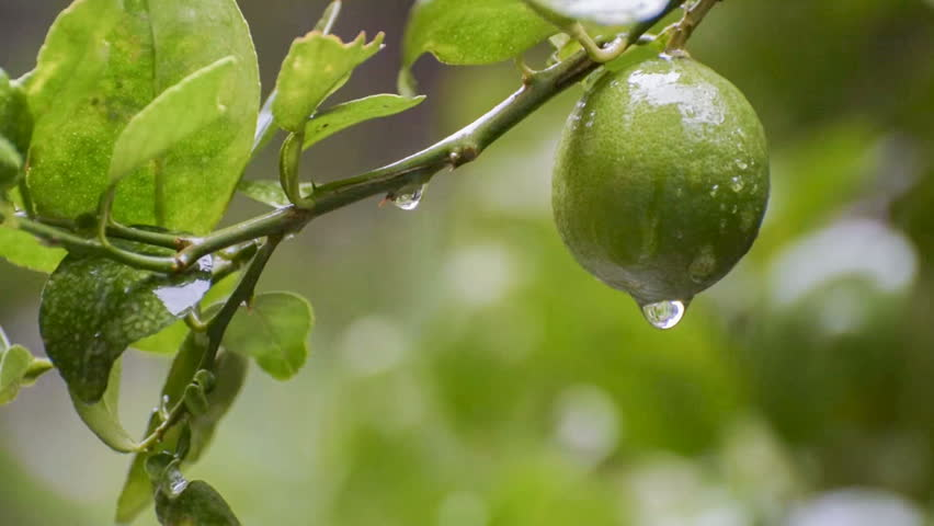Rain Water Drops From Lime Fruit Beautiful Fresh Seasonal HD Stock Nature Footage Green