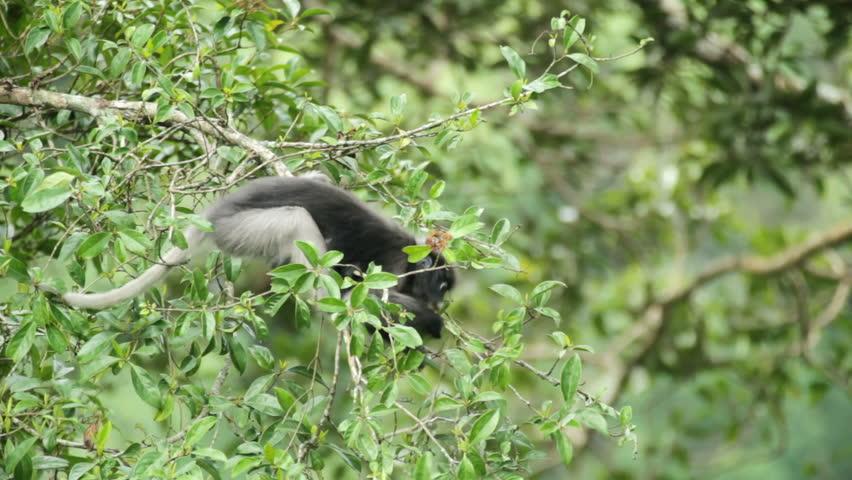 Dusky Leaf Monkey eating leaves in tropical rainforest, Kaeng Krachan national park, Thailand | Shutterstock HD Video #1155364
