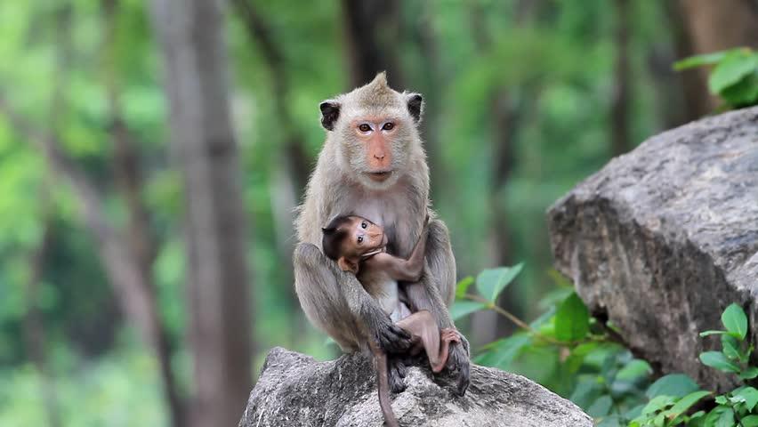 Monkey nursing child