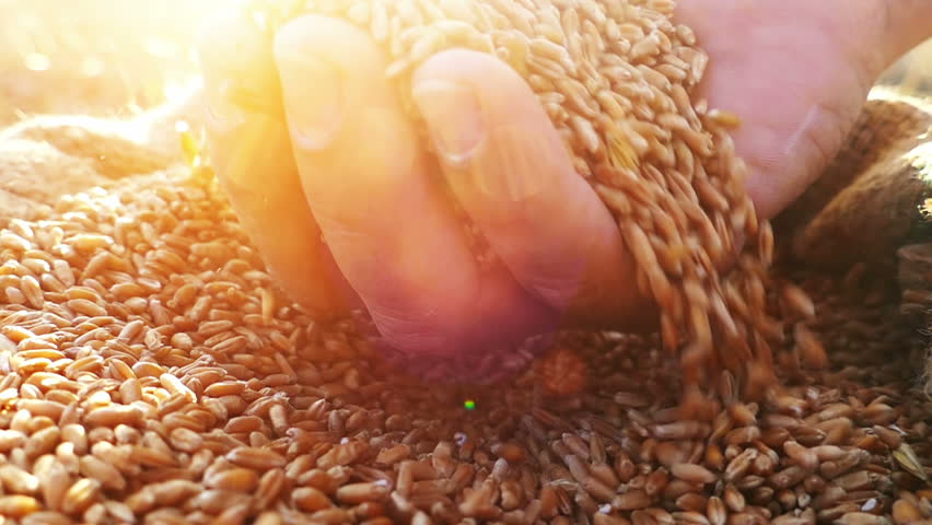 Wheat grains falling down in wheat sack from farmer's hand.Close up, slow motion, high speed camera.Unrecognizable person, lens flare, sunset light | Shutterstock HD Video #11610446