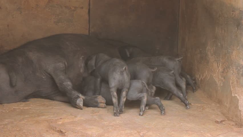 Piglets intensely suckling on their mother's teats