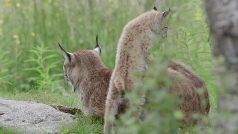 Lynx cubs playing in front of mother lynx