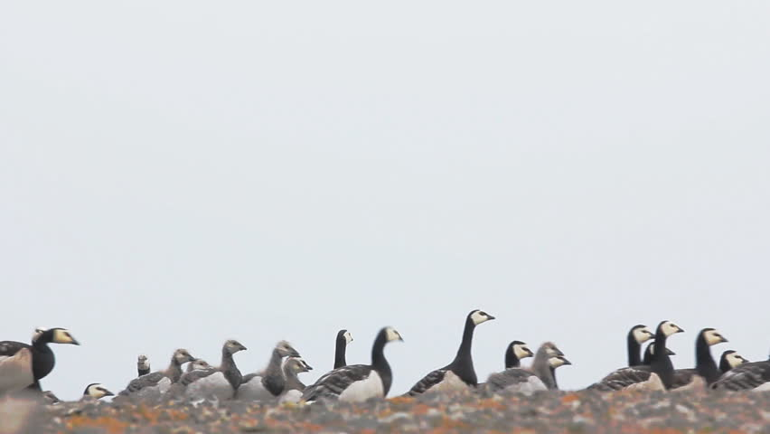 Barnacle goose (claik, Branta leucopsis) with Chicks pass with string in front of camera, public raising of children. Vaygach island, Kara sea. Wind noise