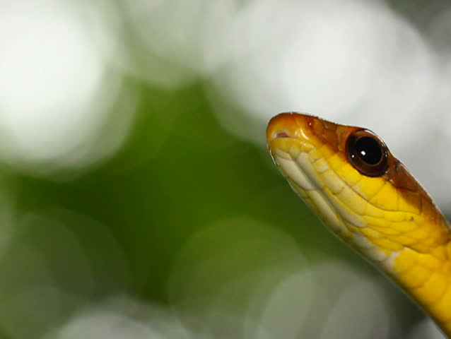Olive whipsnake (Chironius fuscus). In rainforest, Ecuador