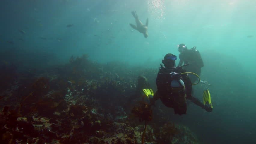 FALSE BAY, CAPE TOWN, SOUTH AFRICA - JUN 21: Scuba diving with curious cape fur seals on June 21, 2015 in False Bay, Cape Town, South Africa | Shutterstock HD Video #11875670