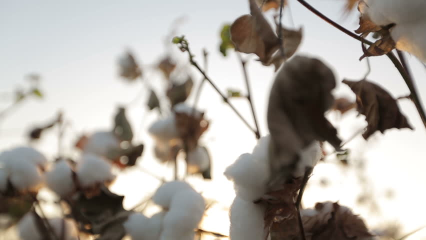 Dolly shot of ripe cotton close-up on sunset glare