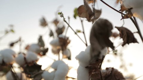 Dolly shot of ripe cotton close-up on sunset glare