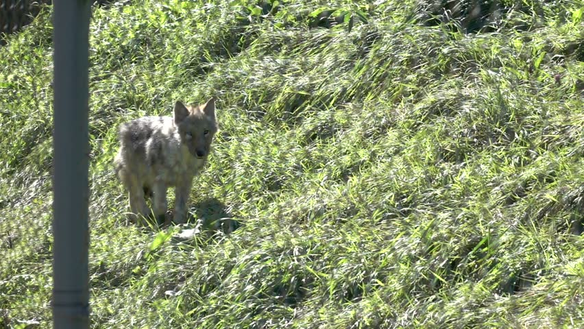 Gray Wolf in Super Slow Motion HD #12005357