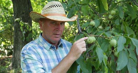 Walnut Trees Organic Orchard Farmer Stock Footage Video (100