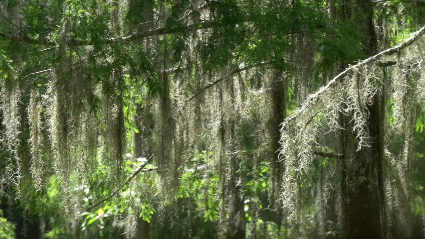 Spanish moss tracking shot | Shutterstock HD Video #12061640