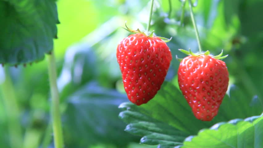appetizing strawberry in the plantation