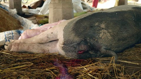 close up of a passage of blood-tinged fluid from the sow's vulva before delivery. Piglets suckling on the sow's teats for milk in the background