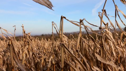 Up close to a field of decaying corn stalks fluttering in the wind.