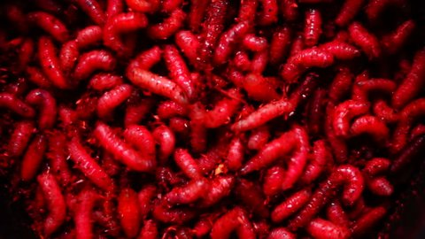 Group Of red Maggots (Acheta Domesticus) Insect Larvae,Bait for Fishing Rod .Maggot therapy introduces live, disinfected maggots into non-healing skin or soft wounds of a human.