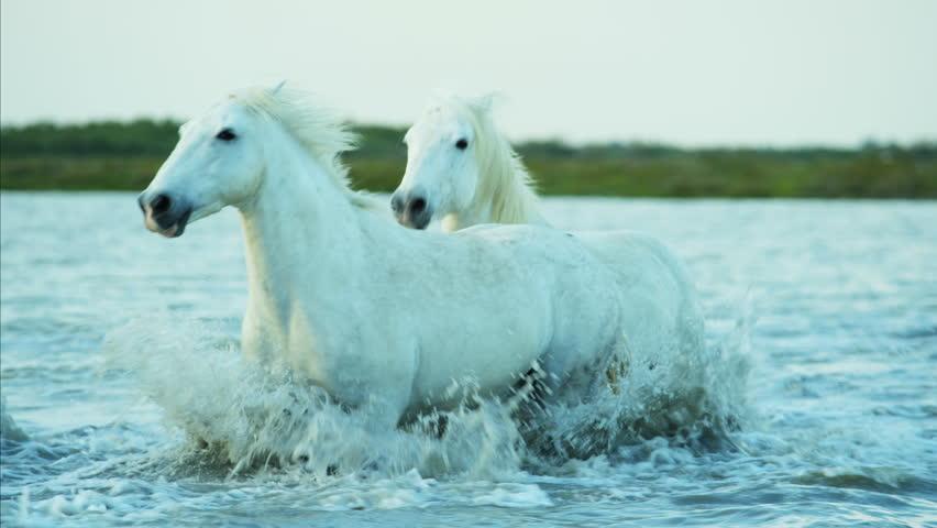 Camargue, France cowboy livestock coastline outdoors marshland freedom animal horses wild white water running Stallion Gelding RED DRAGON #12292940