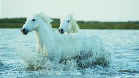 Camargue, France cowboy livestock coastline outdoors marshland freedom animal horses wild white water running Stallion Gelding RED DRAGON
