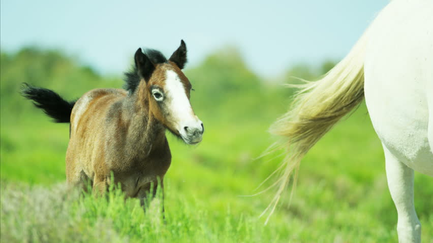 Animal horse foal baby young wild brown white livestock environment water Mediterranean nature Camargue, France outdoors RED DRAGON | Shutterstock HD Video #12292985