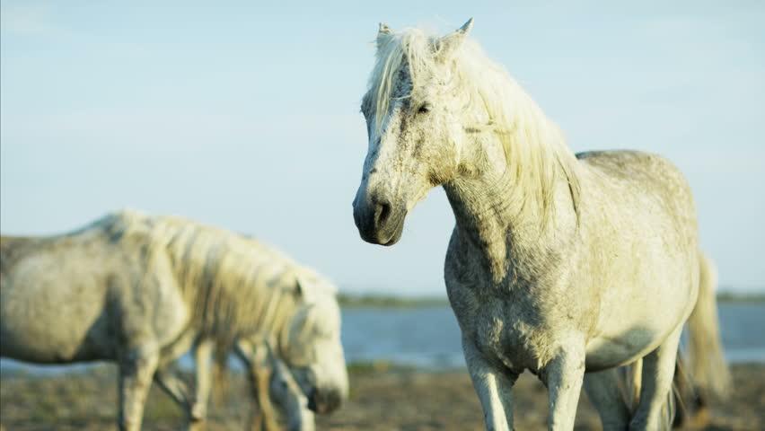 Camargue, France animal horses wild herd white Stallion Gelding water Mediterranean nature outdoors marshland freedom RED DRAGON #12293330