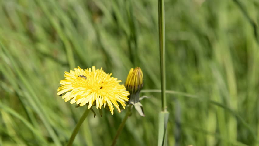 Close up of a yellow dandelion flower in summer