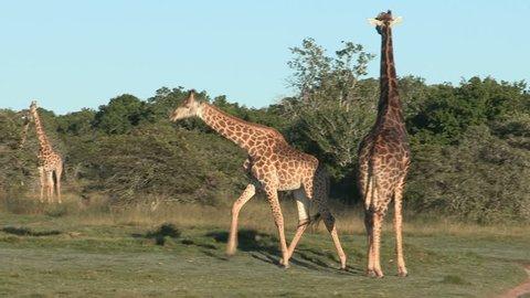 Male giraffe chases female in pre-mating ritual