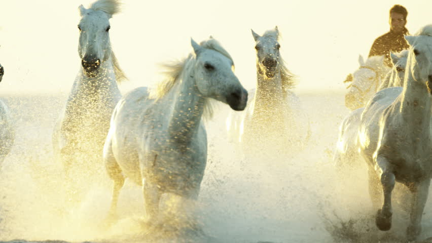 Camargue, France animal horse wild white livestock sunrise rider cowboy running water Mediterranean nature tourism travel RED DRAGON