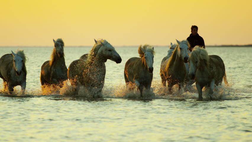 Camargue animal horses France sunset wildlife herd grey livestock trotting water Mediterranean nature outdoors marshland freedom RED DRAGON | Shutterstock HD Video #12329540