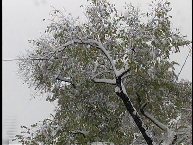 Ice and snow-laden branches are dangerously close to a power line in a heavy blizzard