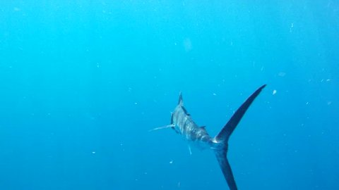 Sailfish Swimming
