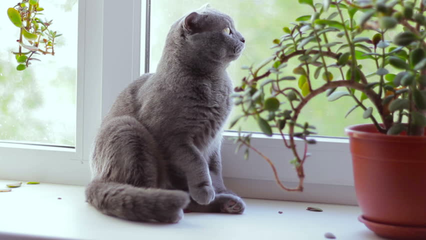 Superior Gray British Cat Breed Is Sitting On A Window Sill And Looking Out The  Window