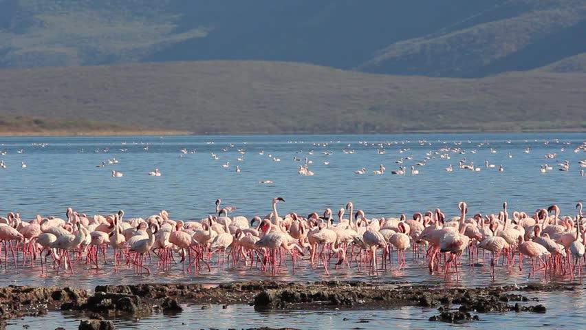 Lesser and Greater Flamingo at Lake Bogoria, Kenya