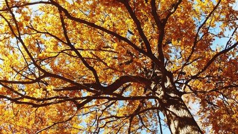Panning low angle shot of an oak tree at autumn season