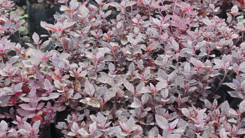 Header of Alternanthera bettzickiana