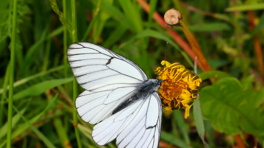 White butterfly on green leaf macro - aporia crataegi | Shutterstock HD Video #1279030