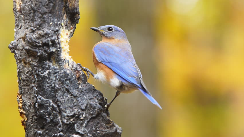 Eastern Bluebird (Sialia sialis) male eating during autumn color change. November in Georgia. | Shutterstock HD Video #12856460