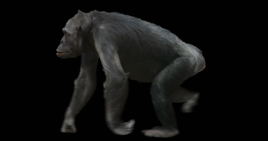 Ape Chimp (Chimpanzee) walking. Isolated and cyclic animation. Alpha channel.