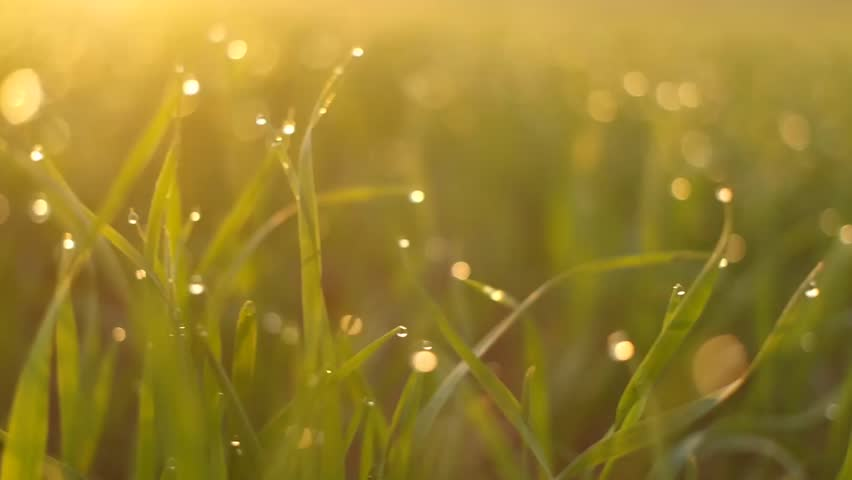 Fresh grass with dew in the sunrise.   Shutterstock HD Video #12939050
