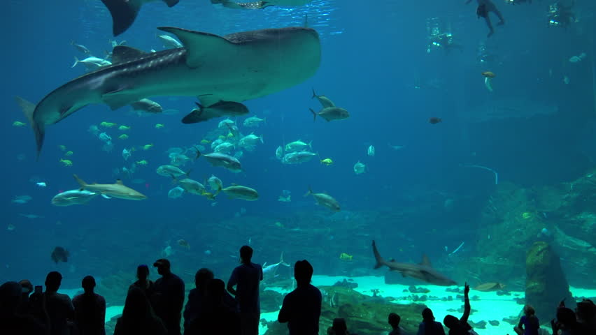 ATLANTA, GEORGIA - CIRCA 2015 - Visitors are silhouetted against a huge underwater tank filled with fish, sharks and manta rays at an aquarium. | Shutterstock HD Video #12950720