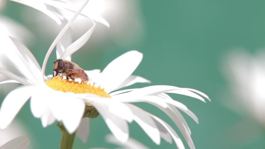 Wild Bee on white flower | Shutterstock HD Video #1297396