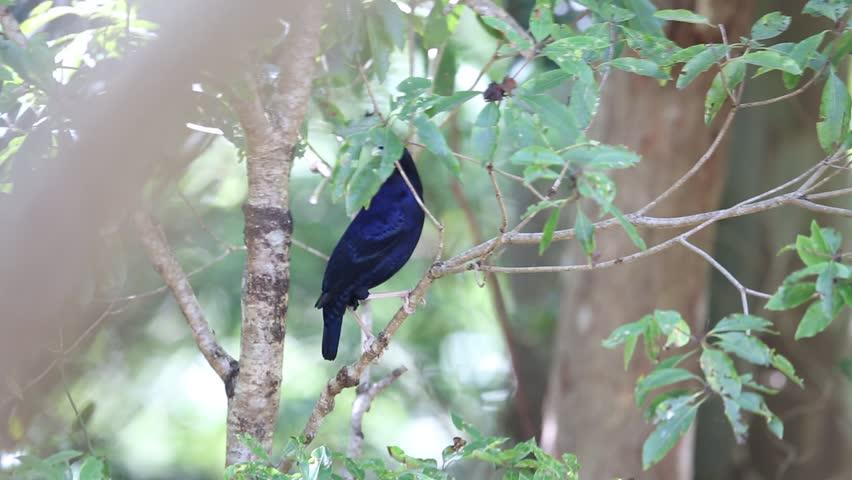 Satin Bowerbird (Ptilonorhynchus violaceus)  in Lamington N.P, Australia