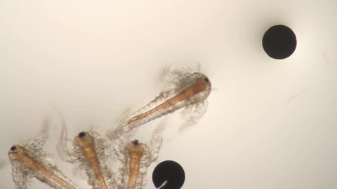 Microscope (40x) view of brine shrimp with eggs.