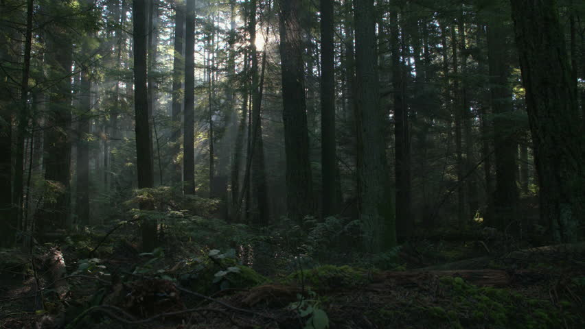 Pacific Northwest Forest Misty Morning dolly shot. A camera dolly shot in a lush, temperate rainforest of the Pacific Northwest