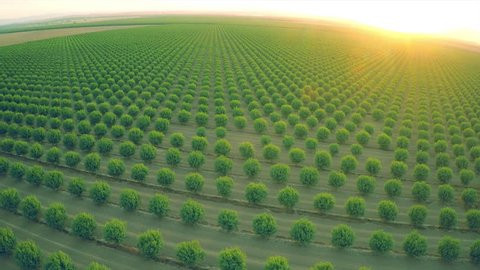 CALIFORNIA - CIRCA 2015 - A beautiful aerial over a huge almond orchard in California at sunset.