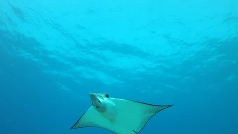 Small Eagle Ray swims over sandy bottom - Maui, Hawaii